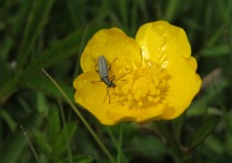 Alex White - Beetle in buttercup