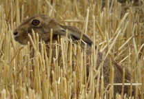 Hare on my Local patch