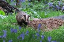 Badger in Bluebells