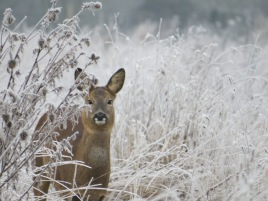 Roe deer in the frost - used on a charity Christmas card