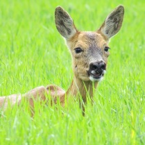 Female Roe deer on my local patch