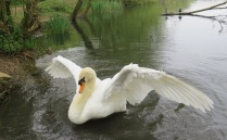 Swan Oxfordshire