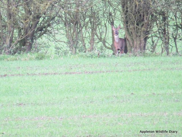 Roe deer 6