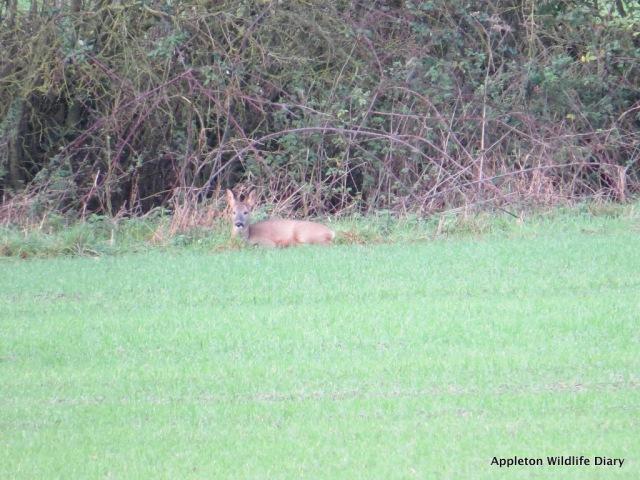 Roe deer 7