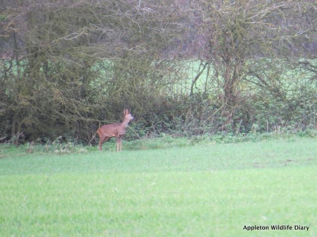 Roe deer 9