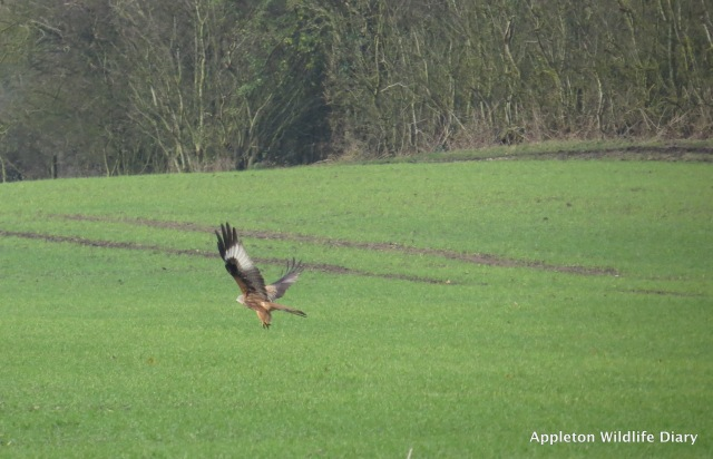 Red Kite taking off 2