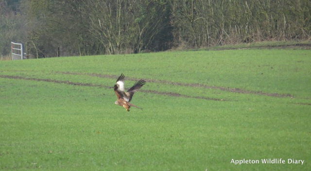 Red Kite taking off