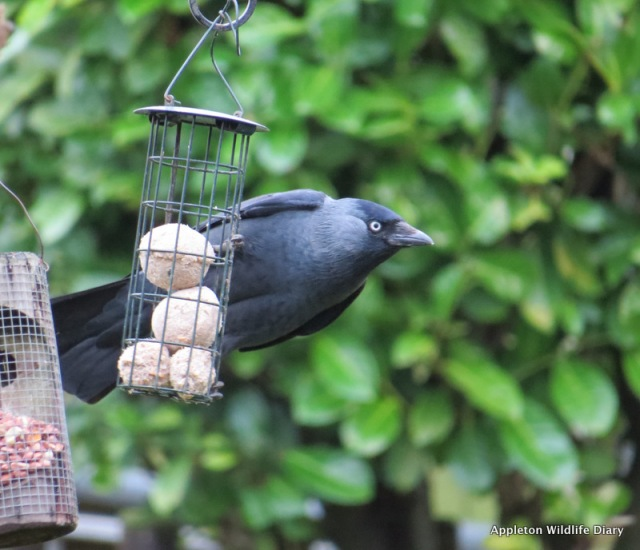 Jackdaw from my window