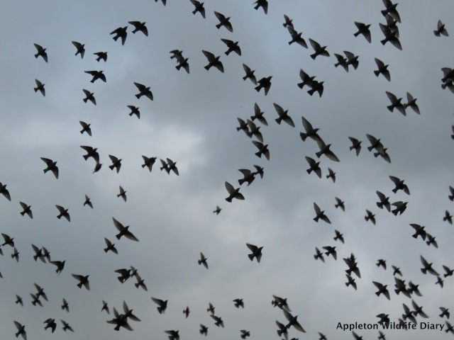Over head Starlings