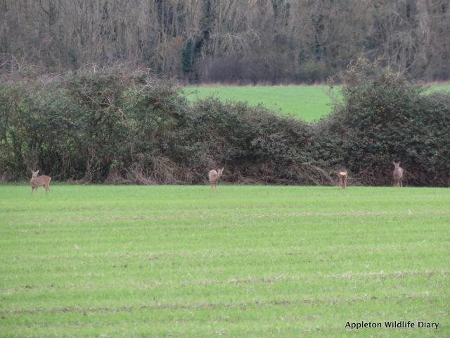 Roe deer 1