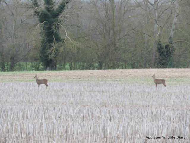 Roe deer 5