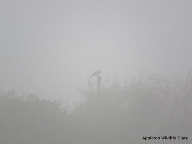 Red kite in fog