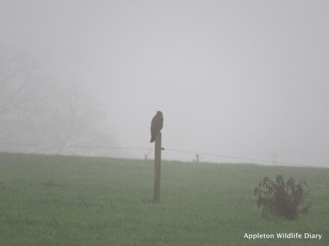 Buzzard in fog