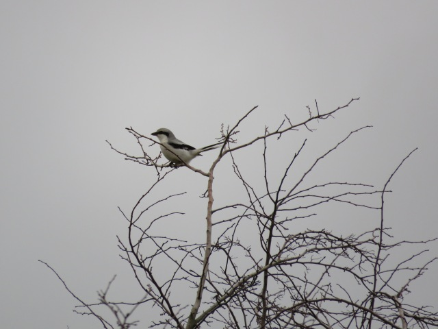 Great grey shrike 2