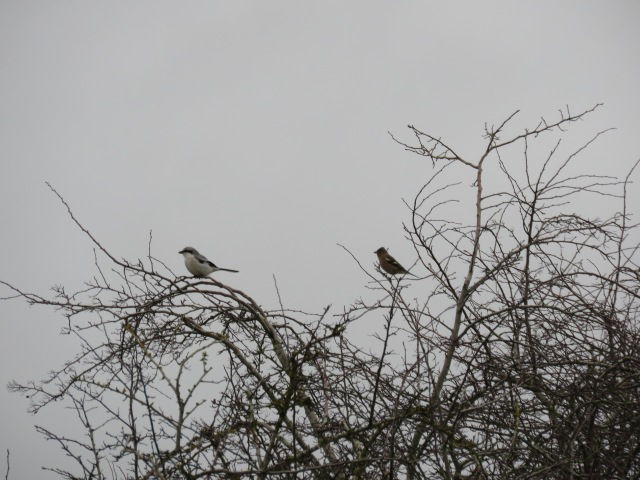 Great Grey shrike and chaffinch