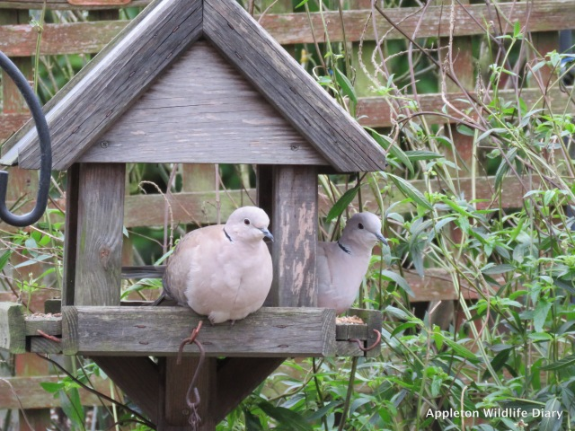 Collared dove sat on feeder