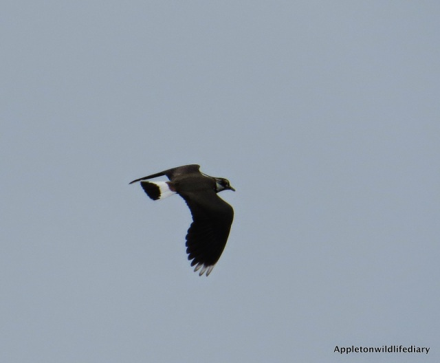 Lapwing over head 1