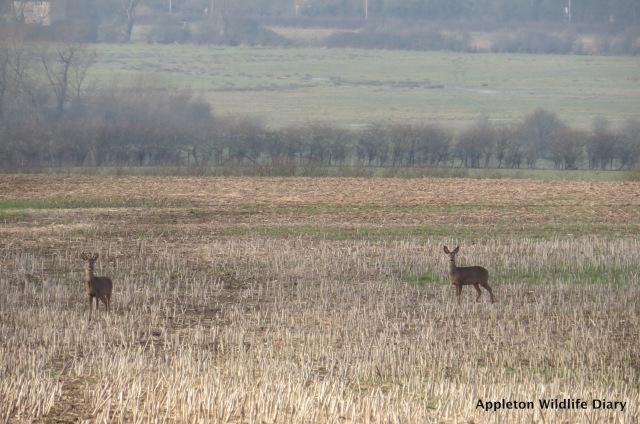 Roe deer across the field