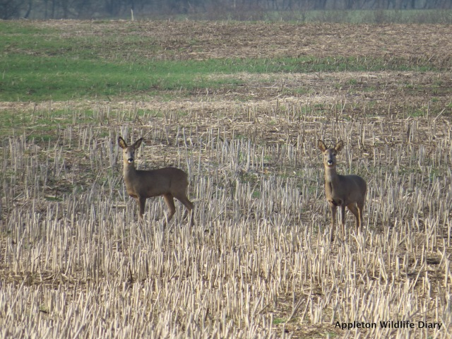 Female Roe deers