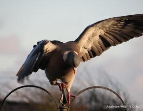 Balancing pigeon