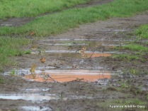 Chaffinches in puddle