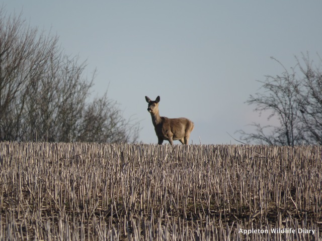 Single Roe deer