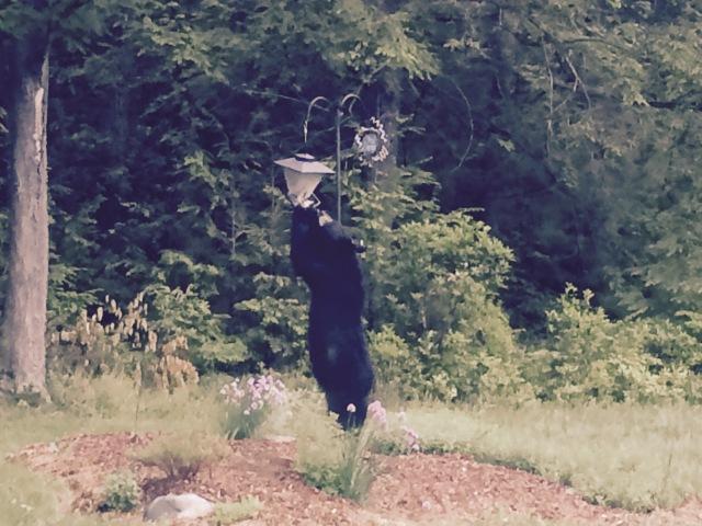 Bear on bird feeder