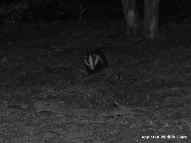 badger Feb half term 2
