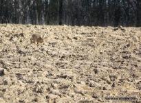 February hare