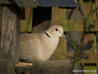 Collared Dove on feeder