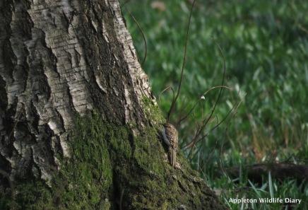 Treecreeper on base of tree