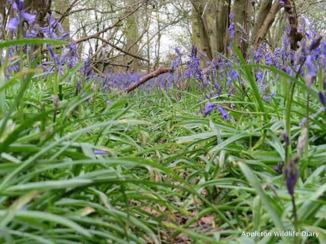 Badger trail through Bluebells