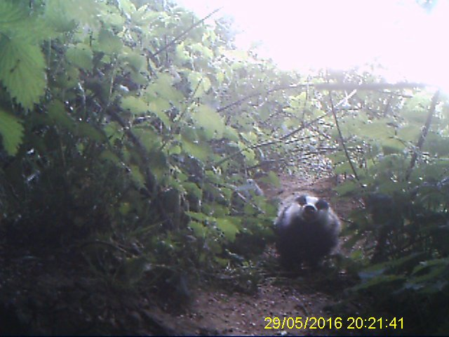 Cub growling at the trail camera