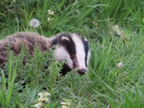 Badger cub Alex White- 300dpi