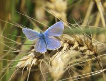 Common_blue_Alex_White_3_300dpi