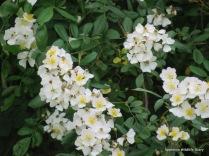 Field rose