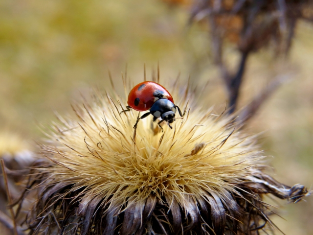 Ladybird on thistle