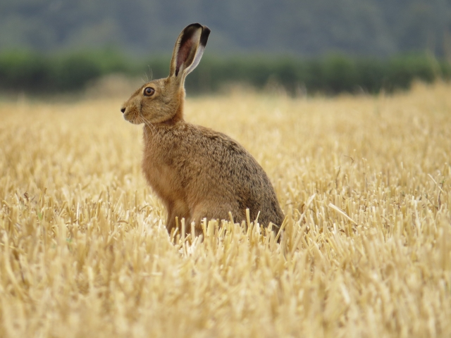 Sitting hare Alex White - 300 dpi