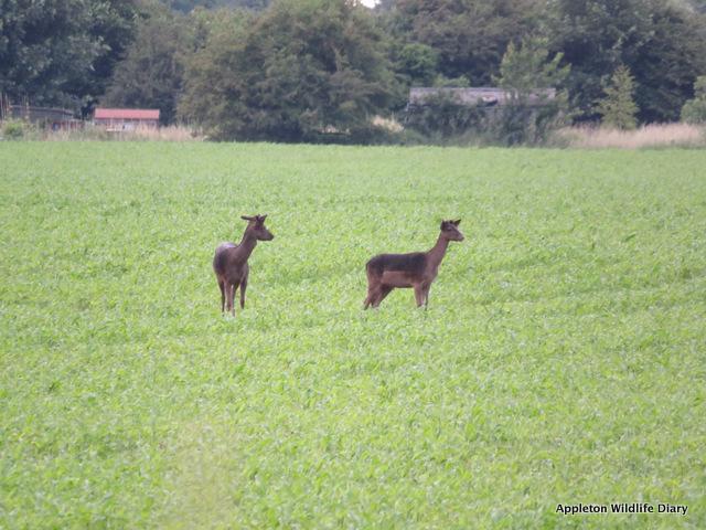 2 fallow deer