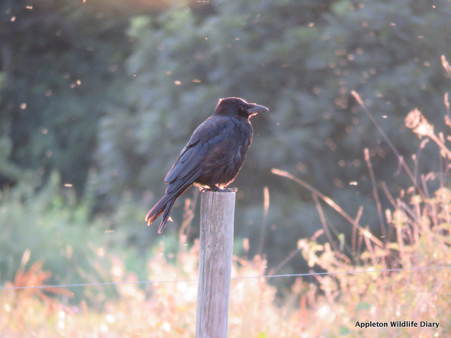 Crow in sunset
