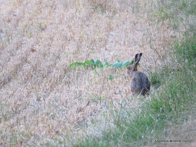 Hare on farm track