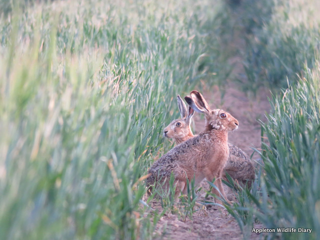 hares in tractor lines