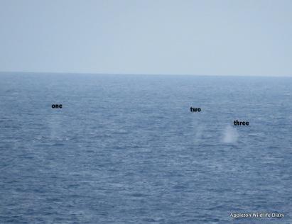 3 Fin whale water spouts