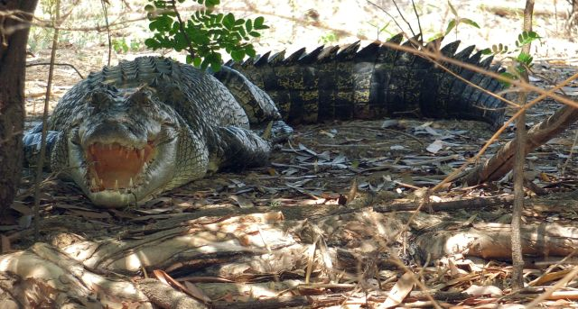 crocodile-basking