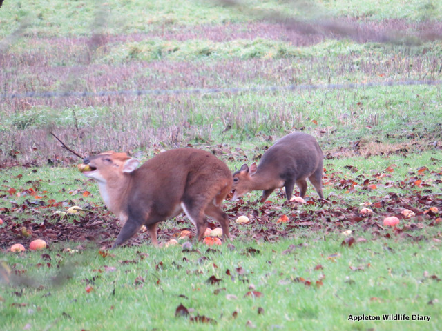 Orchard Muntjac