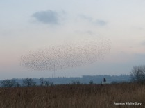 Starlings and Beckley mast at Otmoor