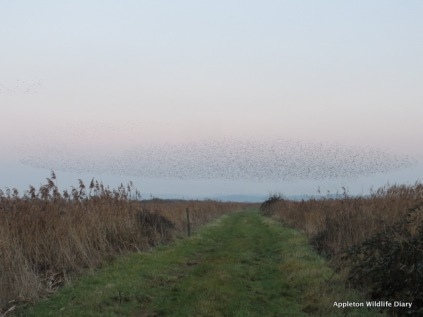 Starling murmuration over Otmoor nature reserve