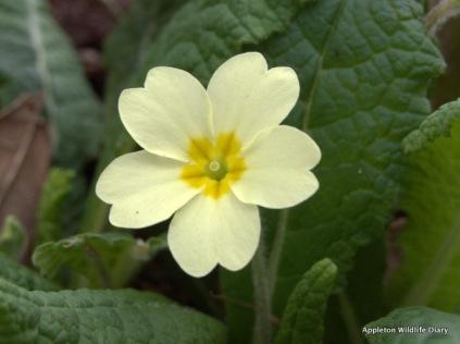 Primrose flower close up