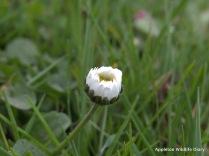 Daisy close up