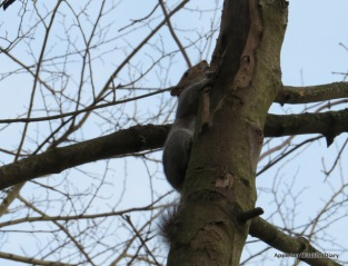 Grey squirrel at Dry Sandford